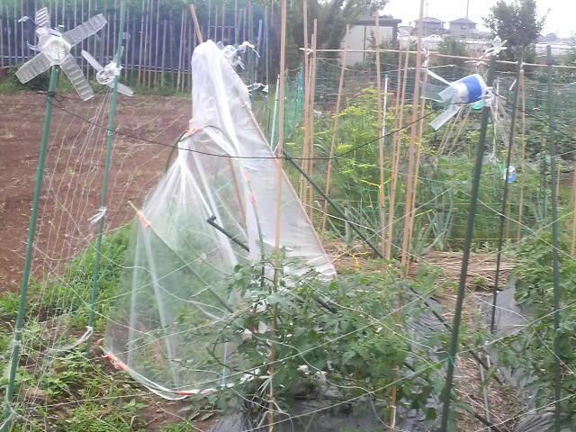 倒れたトマトの雨除け