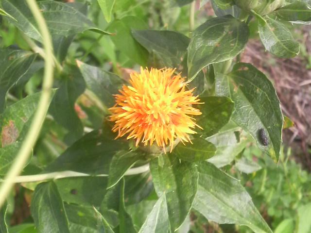 ベニバナの花