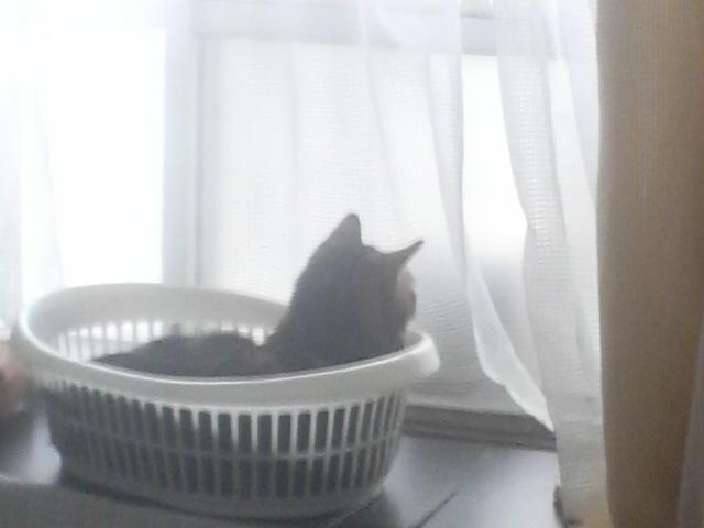 擦りガラス越しにスズメを見つめるうちの猫