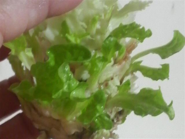 チマサンチュの芯から出た芽