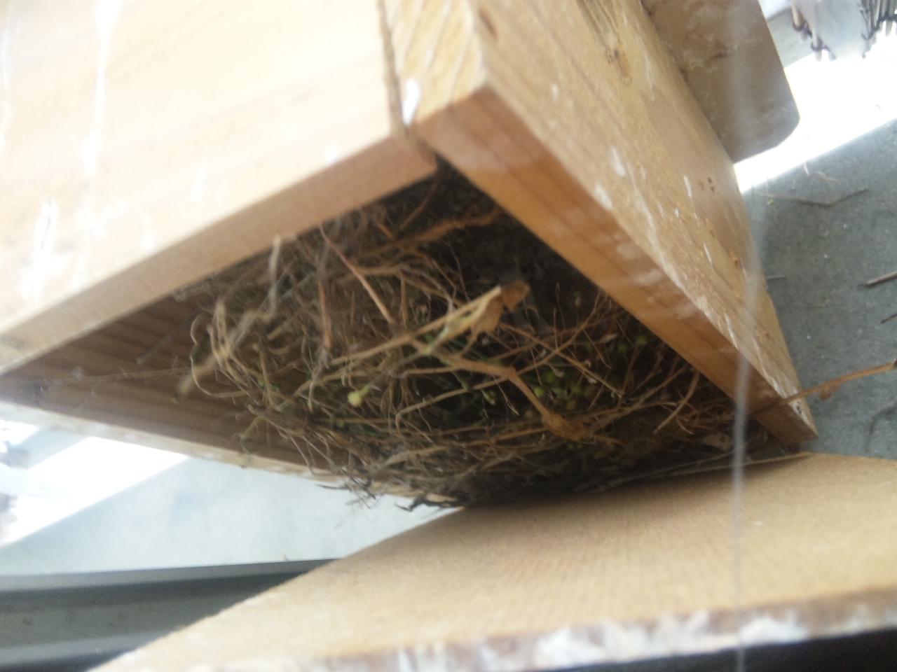 もう巣箱に草が入ってた