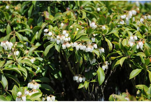 山頂付近は馬酔木の花が満開