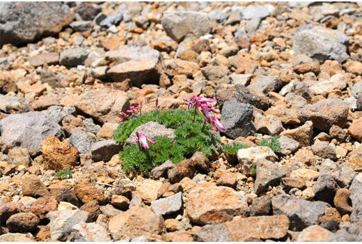 賽の河原で見つけたコマクサ