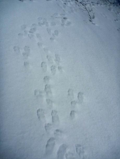 ウサギの足跡