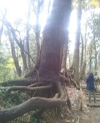 根が浮き出てる木