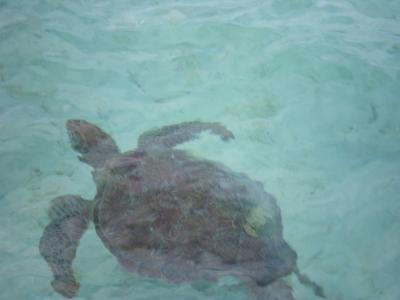 ハワイ2012.7サンドバーの亀①