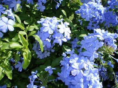 ハワイ2012.7・5日目散策(民家の花)