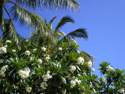 ハワイ2012.7・6日目朝のワイキキ(プルメリア)
