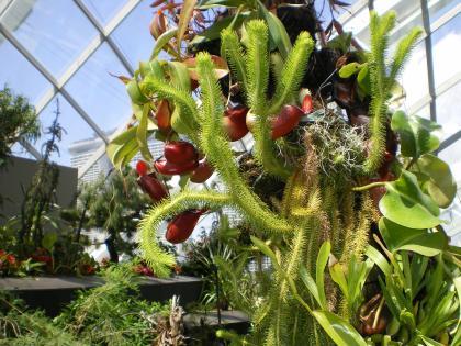 シンガポール2013.1クラウドフォレスト食虫植物