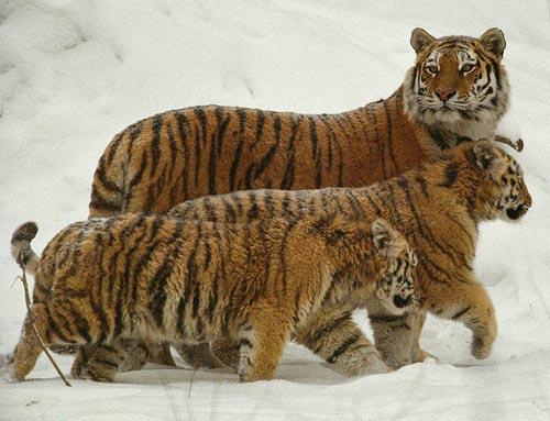 tigers-snow.jpg