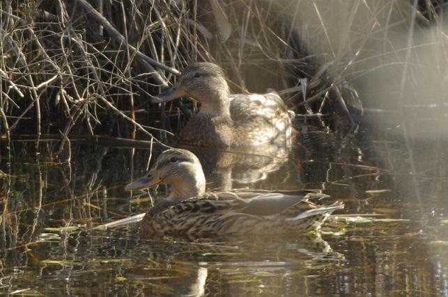 平和池のマガモ