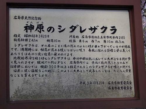 シダレ神原