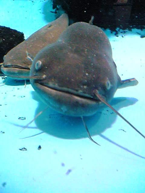 秋田 鯰 釣り