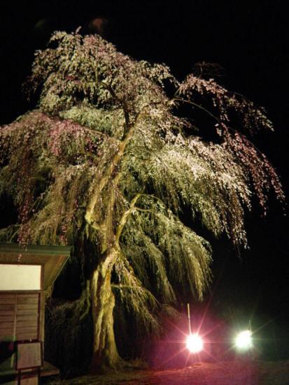 栗山沢夜桜1