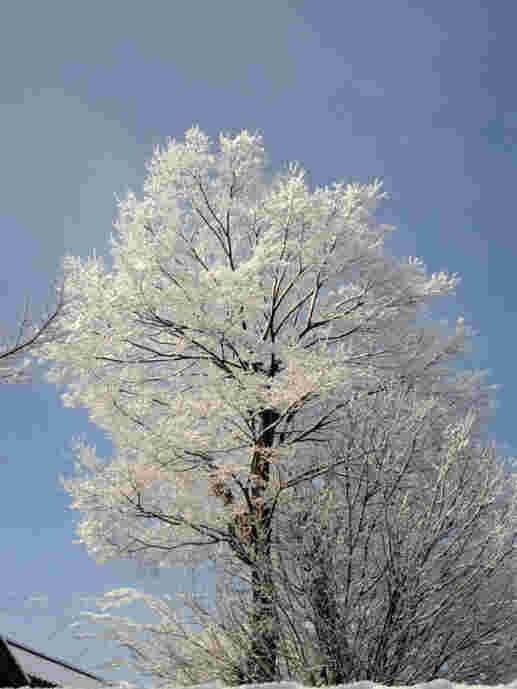 雪の花110309a