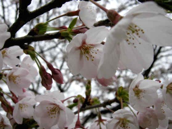 花見しらさぎ110422b