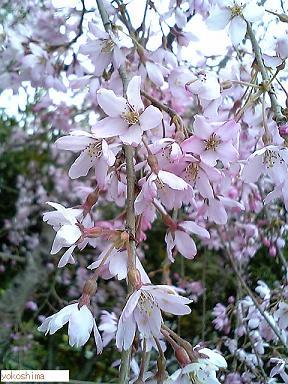 枝垂れ桜2010