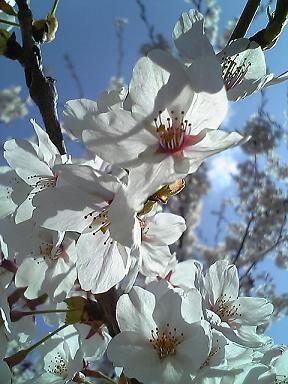 桜と少年2