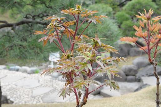 浅草寺の牡丹