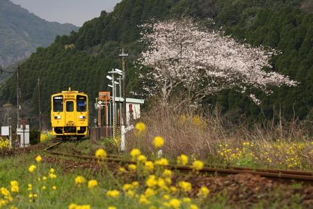 IMG_0212sakura1.jpg