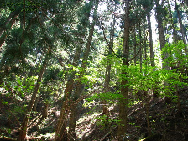0825若杉天然林110520