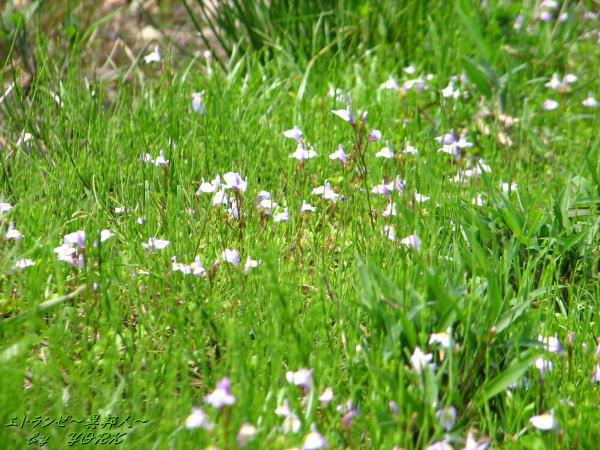 0648草むらと紫の花110520