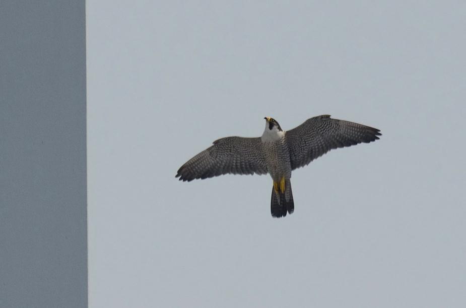 falcon110x_009os.jpg
