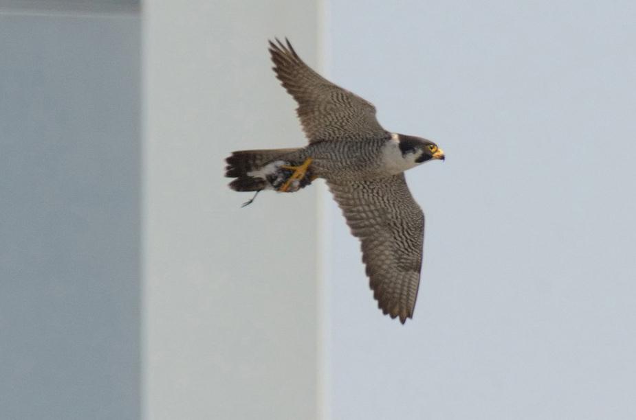 falcon110x_010os.jpg