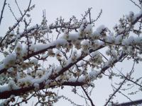 H220308梅に雪.jpg