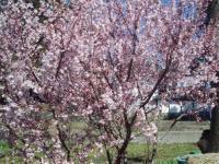H220408満開の小彼岸桜