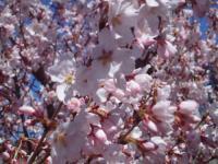 H220408小彼岸桜満開