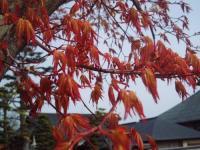 H220418楓の新芽