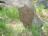 H220501取り逃がしたミツバチ