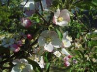 H220503王林の花