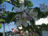 H220503シナノゴールドの花