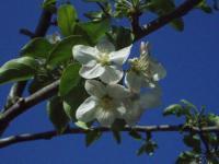 H220503シナノスイートの花
