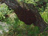 H220504二度目の分蜂