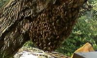 H220505三回目の分蜂群
