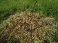 H220512白桃苗木いや地現象