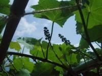 H220609ブドウの房つくり