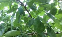 H220620プルーン摘果アフタ
