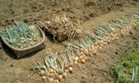 H220621ニンニク・タマネギ収穫