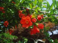 H220702ザクロの花