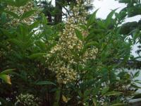 H220703ナンテンの花