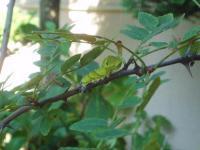 H220830クロアゲハ幼虫