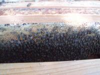 H220905ミツバチ