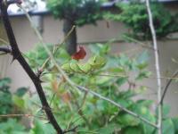 H220921クロアゲハ幼虫
