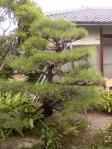H220928にわか庭師の松