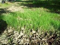 H221011芝の芽吹き