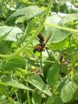 H221016スズメバチがミツバチを捕捉した瞬間